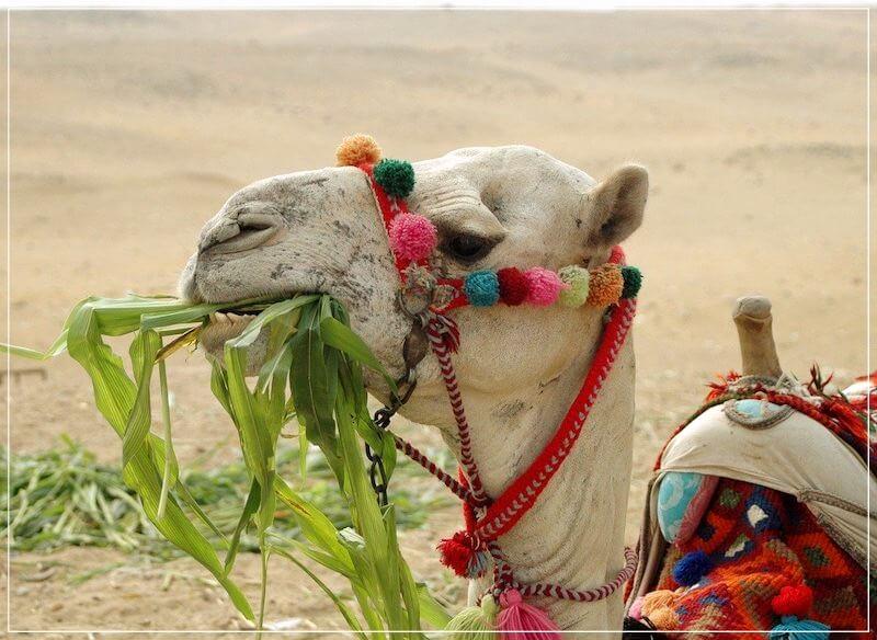 Египет верблюд в пустыне