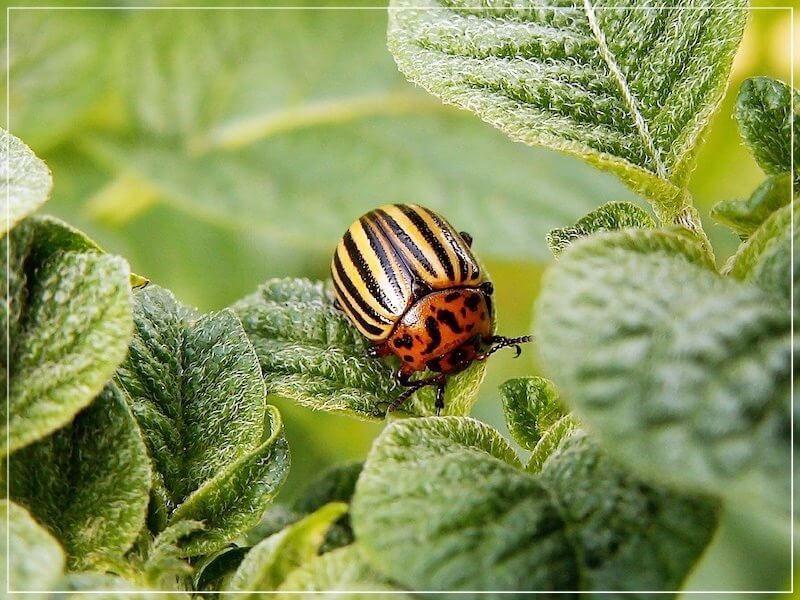 взрослый колорадский жук