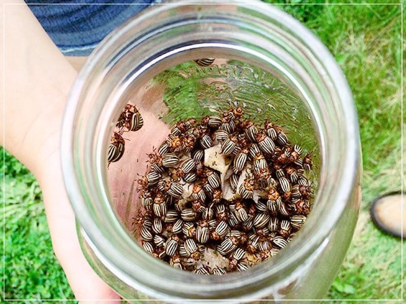 ловушки от колорадского жука